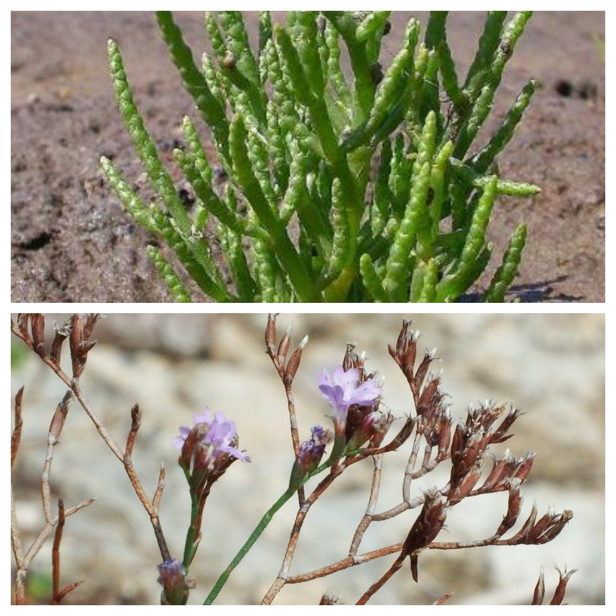 La salicornia e la Statice japigica