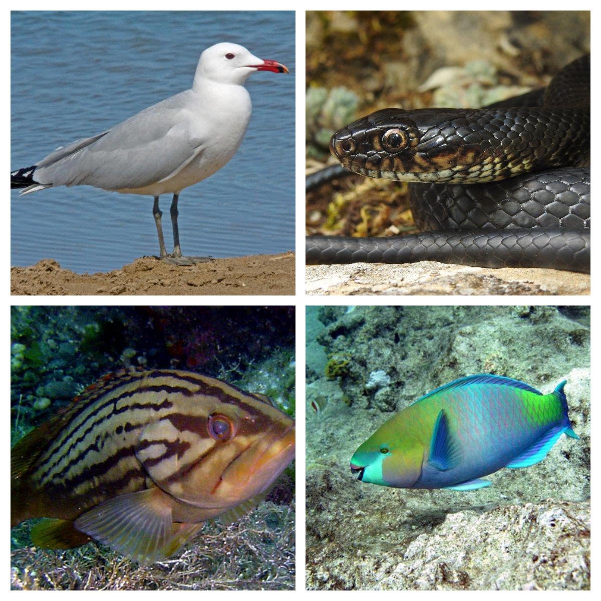 Gabbiano corso (in alto a sinistra), Cernia dorata (in basso a sinistra), Il biacco (in alto destra), Pesce pappagallo (in basso a destra)